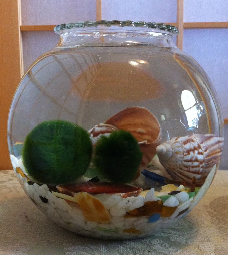 Marimo and Seashells by Biophilia, Guelph, Ontario $30
