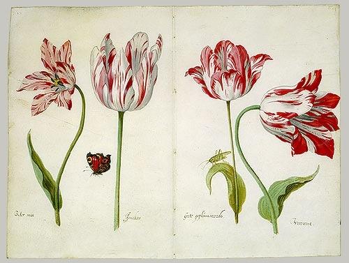 Dutch tulip drawing. Welcome to my gardening blog http://www.facebook.com/flowerindoorgardening #tulip  #flower #bulb