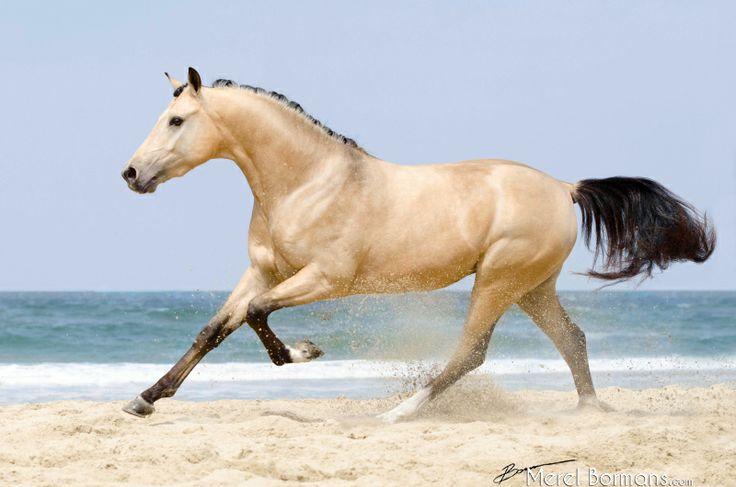 Portfolio merel bormans photography anything horsy portfolio merel bormans photography anything horsy pinterest buckskin horses on the beach and photography sciox Images