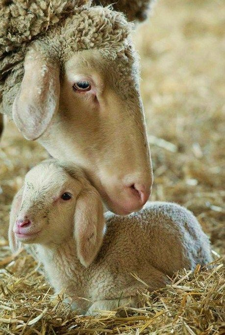A 2-day-old lamb is nuzzled by its mother at a barn in Dolgelin, Germany