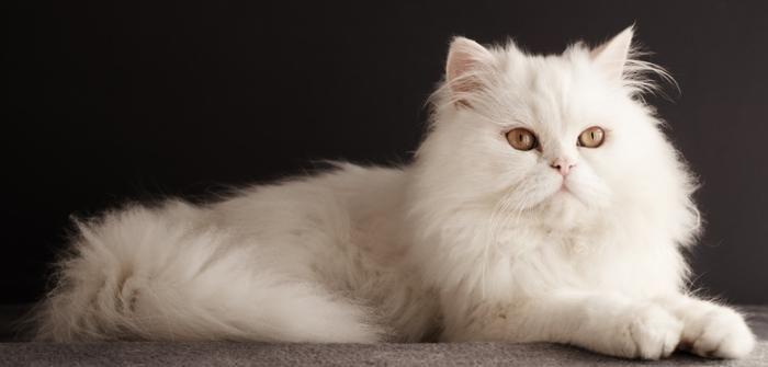 Entretien du chat persan et soin et toilettage du pelage du persan