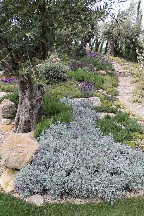 mediterranean garden / Detail planting of olive grove
