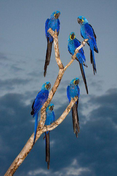 Arara Azul _ Hyacinth Macaw  (Anodorhynchus hyacinthinus) -  Amazon Rainforest - Brazil