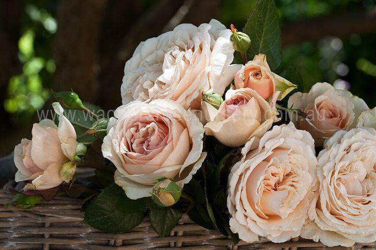 Shirley's Rose | Wagner's Rose Nursery