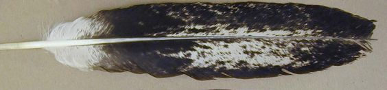 Immature Bald Eagle Feather
