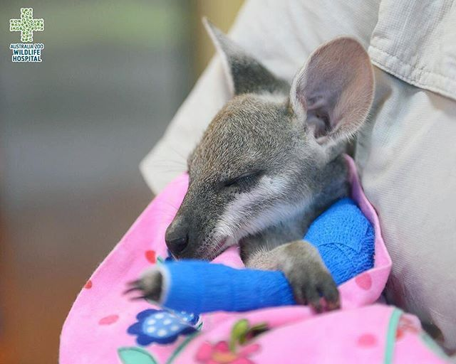 Hearts are melting 💕🌸 #Repost @wildlifewarriorsworldwide ・・・ Many patients admitted to the #AustraliaZooWildlifeHospital are sadly victims of road accidents, like this little fighter – Riley the orphaned whiptail #wallaby. Thankfully Riley was safely tucked away in of her mum's pouch and was brought to the #WildlifeHospital where she received surgery to mend her fractured arm, before being placed with a specialised wildlife carer.