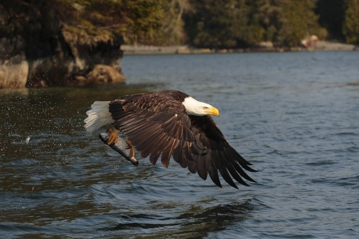 The eagles love Tofino for the seafood.  So do I.