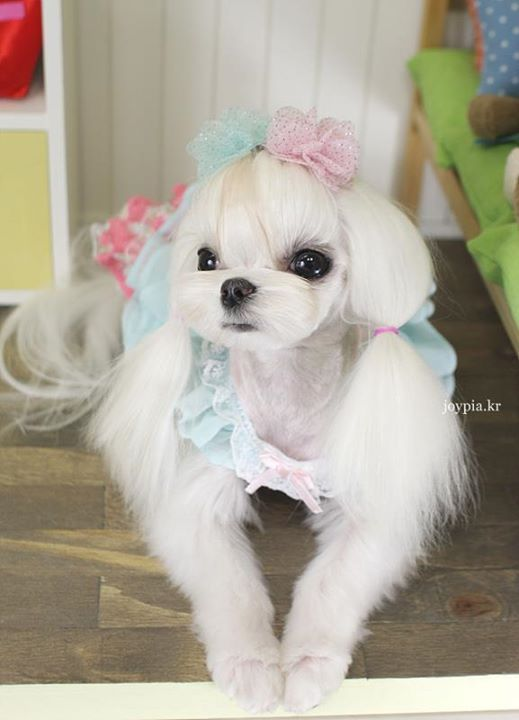 1000+ images about Maltese dogs on Pinterest | Teacup ...