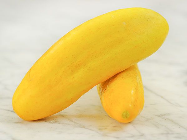 Gele Tros or Large Dutch Yellow Cucumber. This is a large yellow cucumber that was popular in Holland for making yellow, sliced pickles.