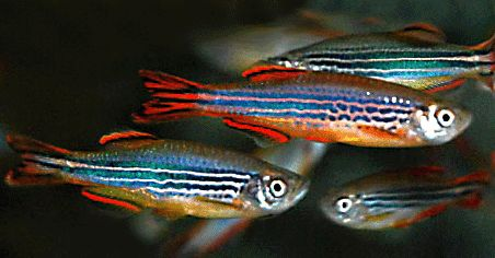 Aquarium fishes |Freshwater fish | tropical fish | Ornamental fish | fish supplies