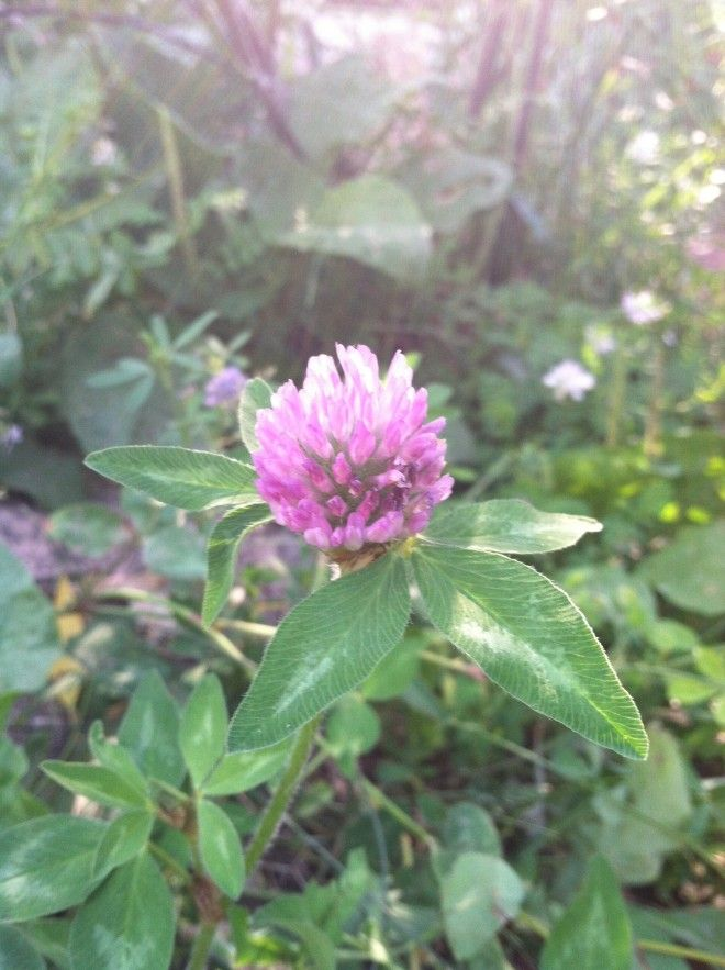 How to Use Red Clover Blossoms: Tonic for colds, Burns, psoriasis, eczema, acne, respiratory, PMS, Hot flashes, Liver purifier, reduce LDL.  Nutritionally ~calcium, magnesium, potassium, niacin, thiamine and lots of Vitamin C