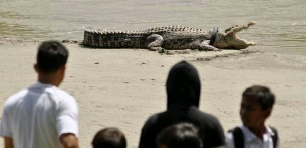 Waspada, Buaya Liar Gentayangan di Pantai Congot