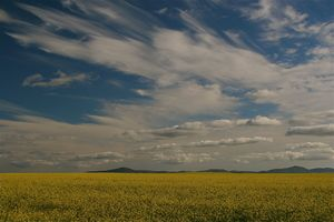 Blue skies & canola - Swartland