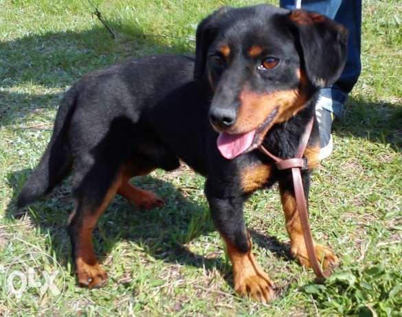 GUFFI  To mały psiak, wyglądem przypominający jamnika:)  Guffi to bardzo towarzyski psiak. Z zaciekawieniem przygląda się innym psom na spacerach i stara się zaprzyjaźnić :)  Uwielbia głaskanie i kontakt z człowiekiem.   Jest łagodnym i spokojnym pieskiem. Nie sprawia większych problemów.  To idealny przyjaciel dla każdej rodziny:)
