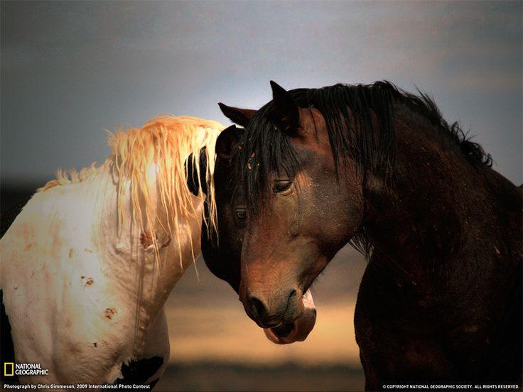 Stalloni selvaggi, Wyoming Fotografia di Chris Gimmeson