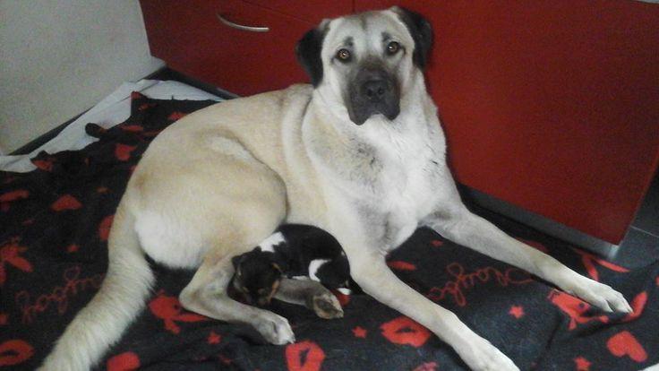 Boerenfox pup nestelt zich bij Anatolische herder