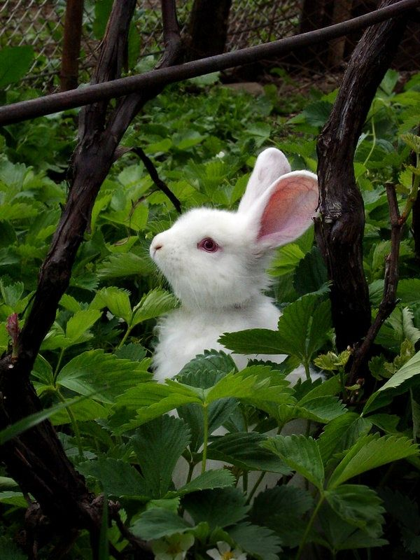 White bunny in a strawberry patch