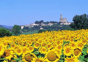 Sunflowers in Toscana, Italy