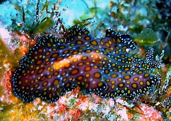 Caribbean Sea Creatures: 743 Best Strangely Splendid Sea Slugs (Exhortation To The