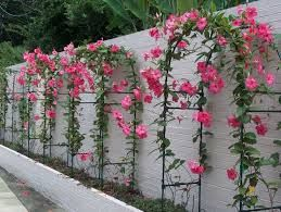 plantas trepadeiras de vasos - Pesquisa Google
