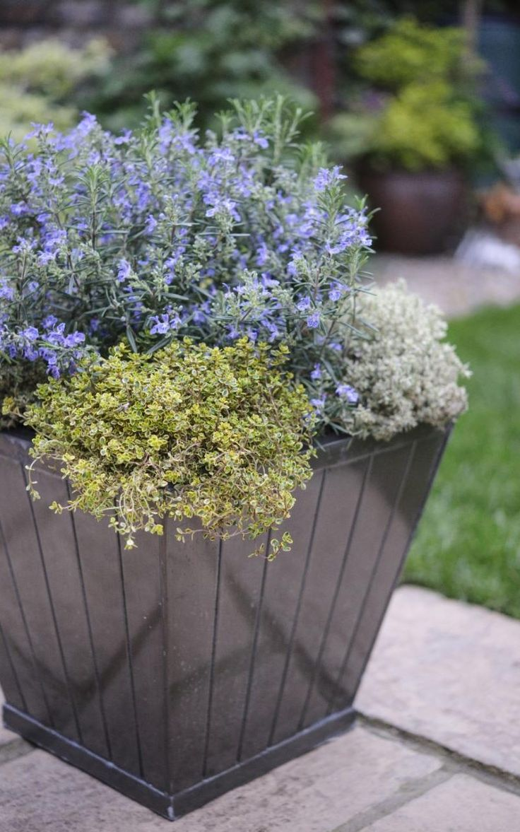 Rosemary and thyme in a pot