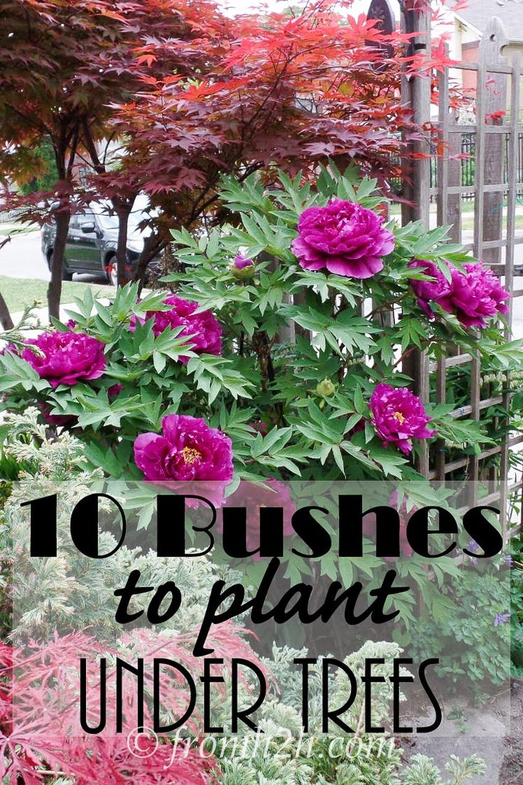 10 Bushes To Plant Under Trees | 10 Bushes To Plant Under Trees | Have a shady spot where you would like to grow some bushes? Not sure what will grow there? Open this post to get a list of 10 different options.