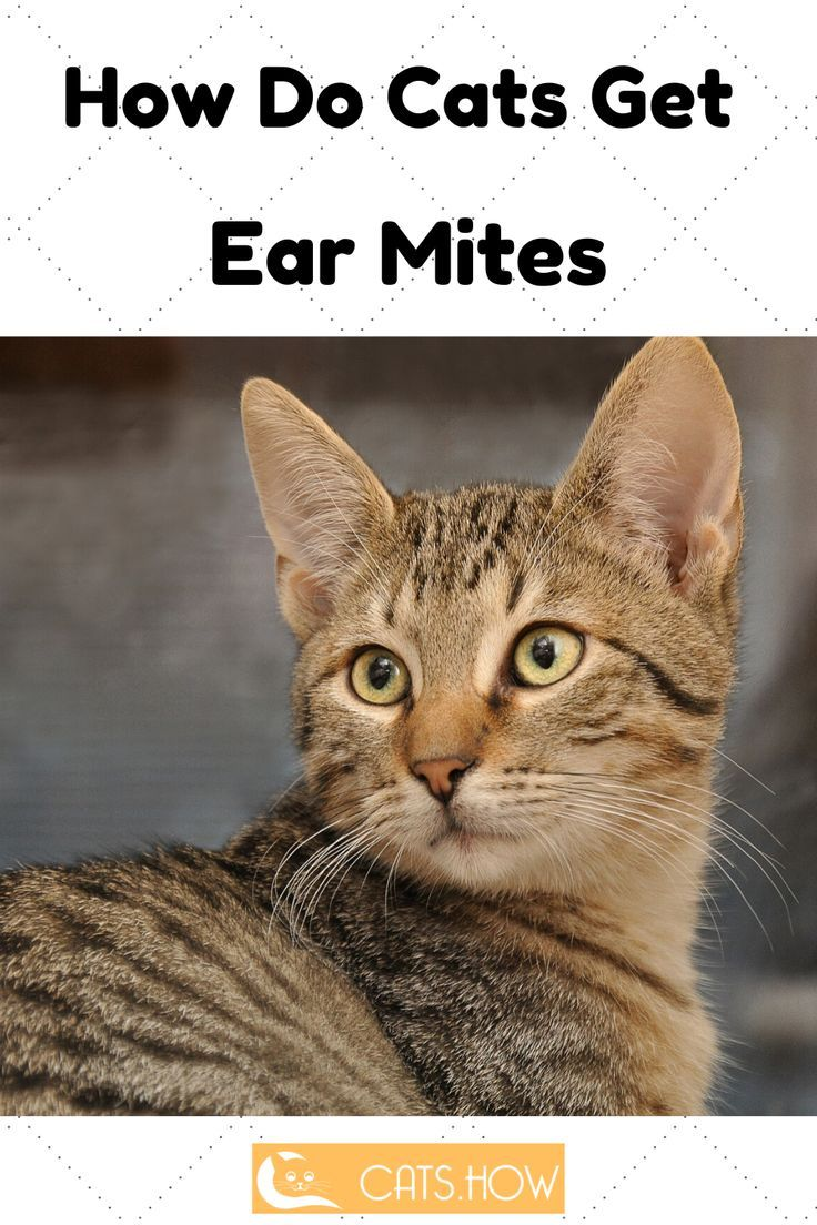 How Do Cats Get Ear Mites In 2020 Cats Mites Cat Care Tips