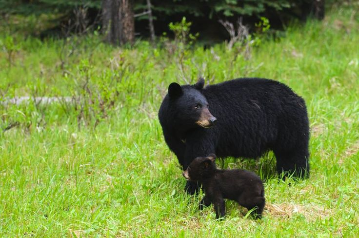 Mama Bear And Cub Taking A Morning Stroll Smoky