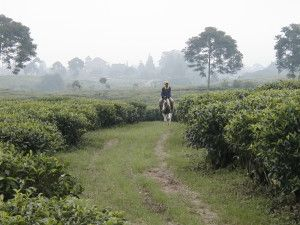 Tea Garden in Bogor, Indonesia