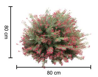 CRIMSON VILLEA™ Grevillea is a compact plant with an abundance of crimson flowers in autumn | Native Shrubs & Ground Covers