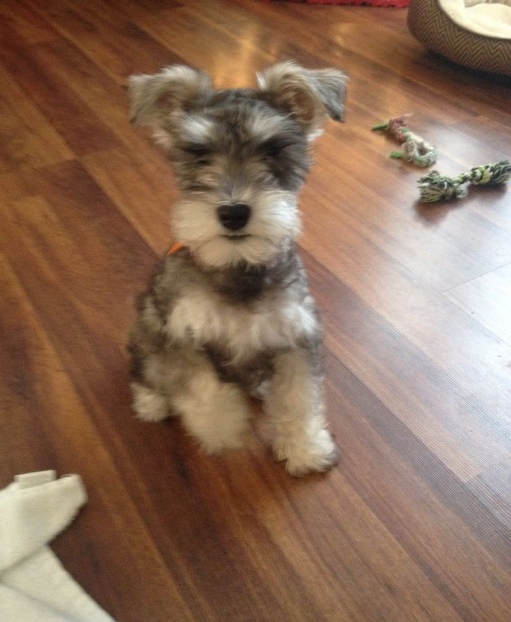 Miniature schnauzer puppies for sale london uk