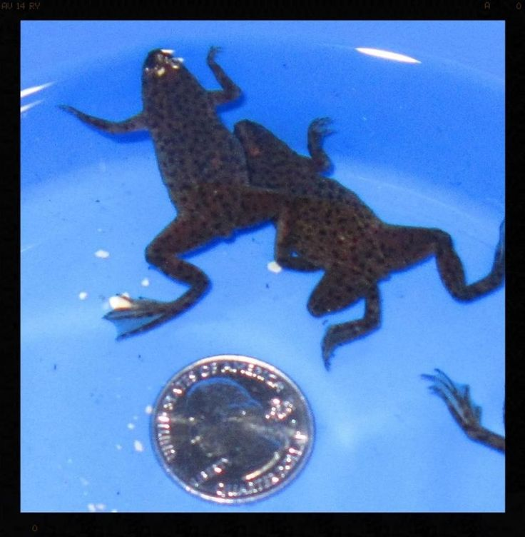 2 African Dwarf Frogs Live Freshwater Fish