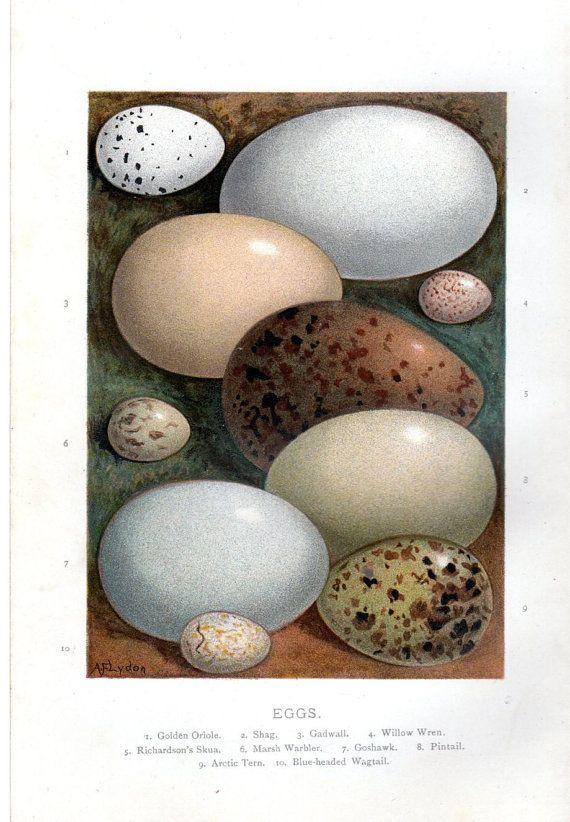 1896 Antique Egg Print Eggs Oriole Gadwall by AntiquePrintGallery