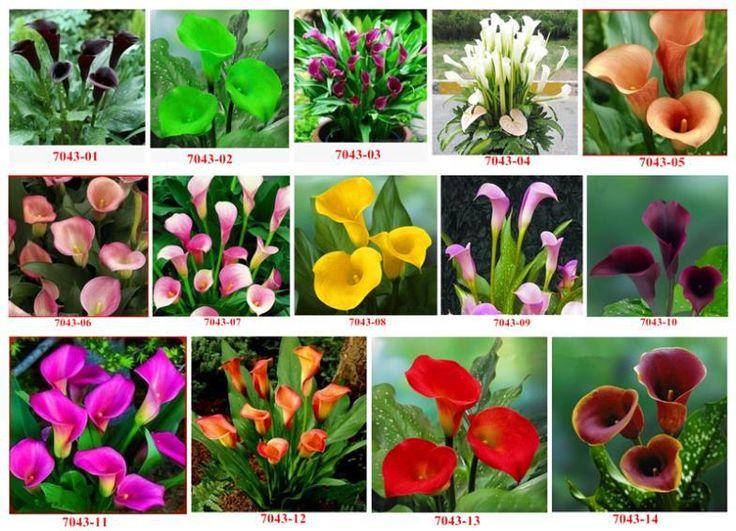 Уличные растения лето Muscipula Sementes семена лампа, Семян, Гидропоника, Многообещающая цветок, 10 шт.