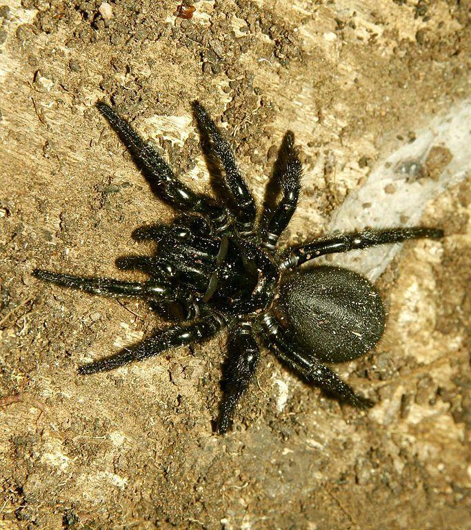 Sydney Funnel Web Spider. Photo Credit: Londolozi