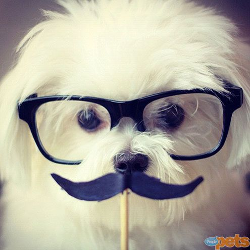 Introducing ... the PEOPLE Pets Awards Finalists | THE MUSTACHED DOG | Milo is the master of disguise ... and cuteness!