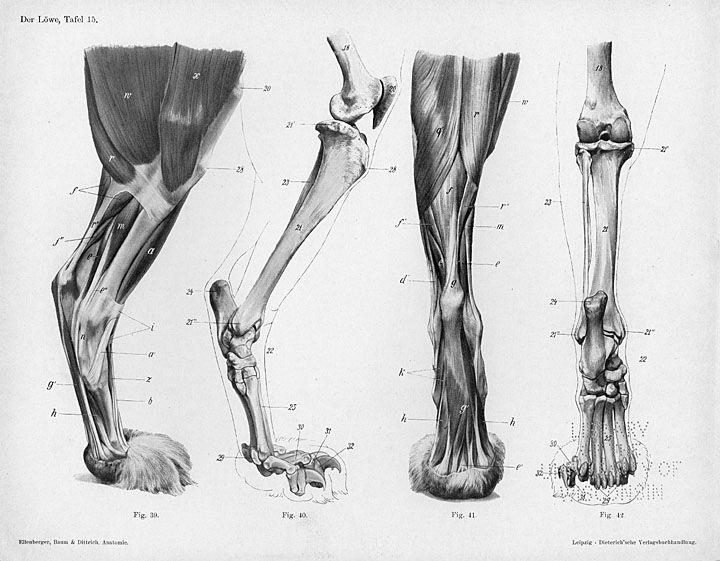 Horse Anatomy By Herman Dittrich Hind Legs: Lion Anatomy By Herman Dittrich