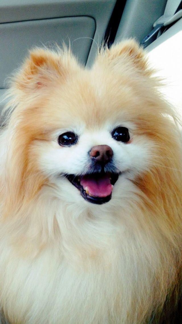 Boo Pomeranian Mobile Wallpaper - Mobiles Wall