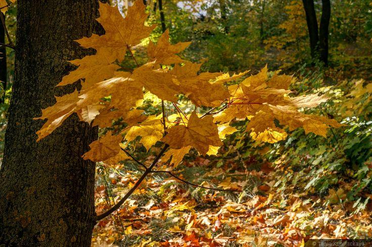 Осенние кленовые листья ( autumn leaves)