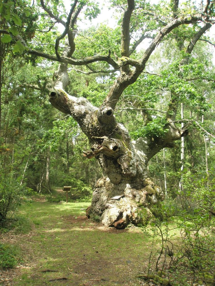 The Trolloak in Trollskogen on northern Öland, believed to be removed against 900 years old.
