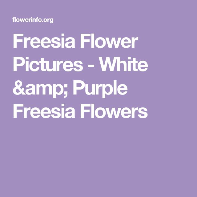 Freesia Flower Pictures - White & Purple Freesia Flowers