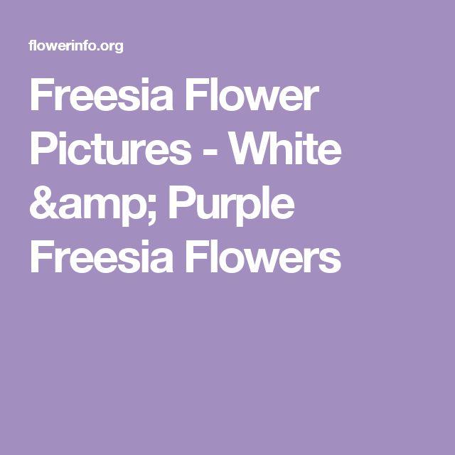 Freesia Flower Pictures - White & Purple Freesia Flowers