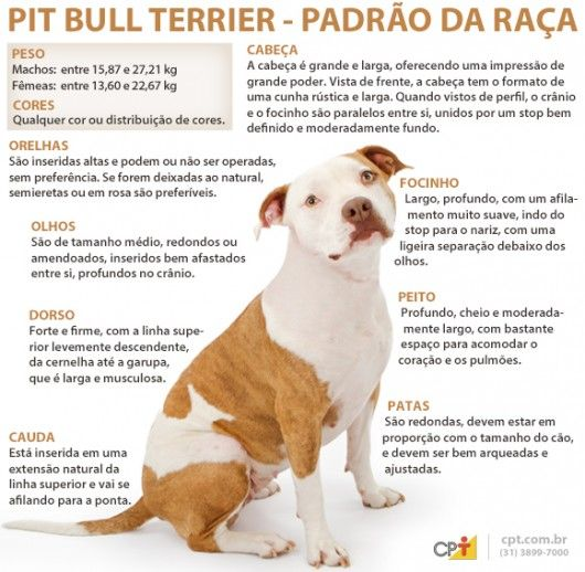 Padrão da raça Pit Bull Terrier