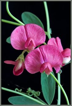 Sweet Pea Flower - April Birth Flower (Britain)