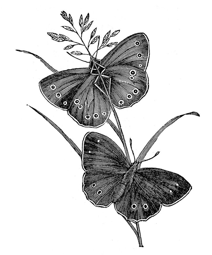 black and white vintage spring graphics fairy | Here are some lovely Black and White Butterfly Engravings from an ...