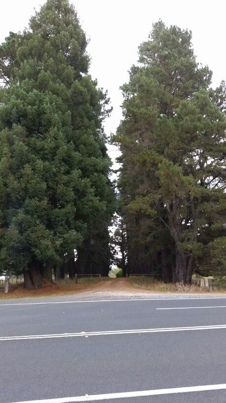 Magnificent pine tree lined driveway Running Stream NSW