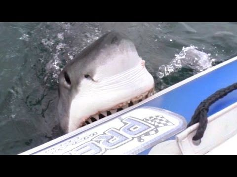This is the incredible moment that a great white shark swam up to the side of a boat holding a crew of filmmakers – and started taking chunk...