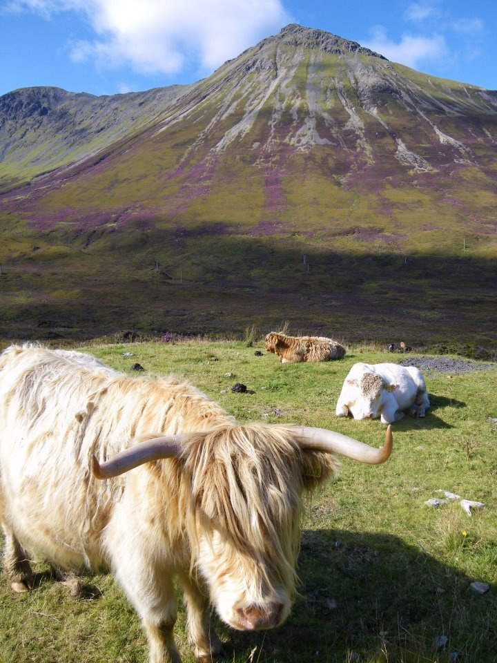 Highland Coos with heather clad Glamaig in the background. Taken just a few weeks ago on the Isle of Skye.