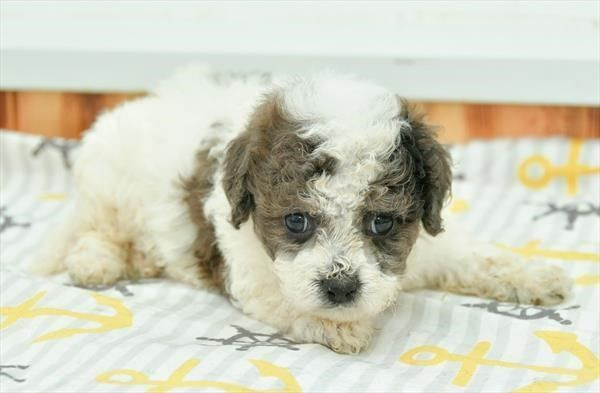 Petland Olathe Has Cavachon Puppies For Sale Check Out All Our
