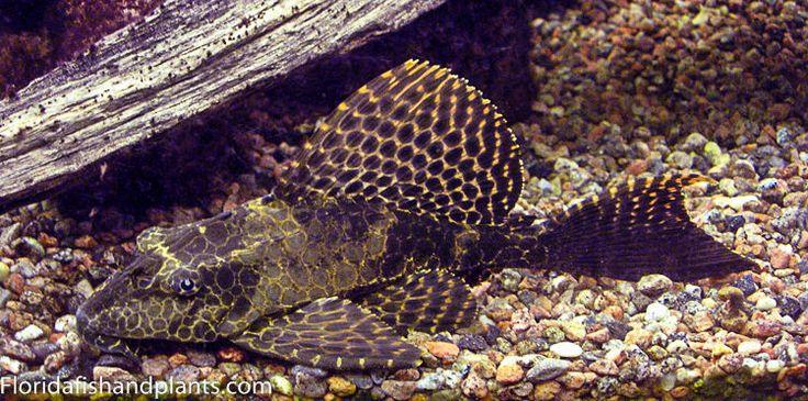 ... Gibbiceps Sailfin Plecostomus Pleco 1.5 inch GUARANTEED